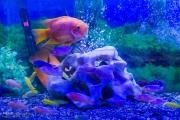 سالیانه دو میلیون و هشتصدهزار قطعه ماهی زینتی در آبیک تولید میشود