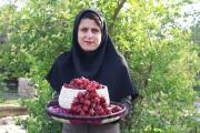 برداشت چای ترش توسط بانوی کارآفرین در دشتستان برای نخستین بار