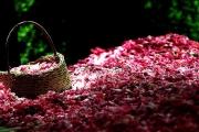 گلاب و فرش کاشان یک برند جهانی است