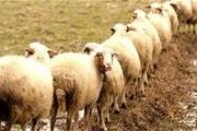 گرانفروشی گوسفند قربانی در میادین شهرداری